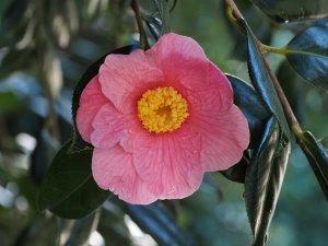 Camellia x williamsii 'Mary Jobson'