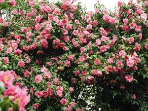 Camellia x williamsii hybrids