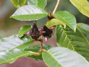 Stewartia pteropetiolata