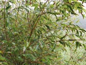 Phyllostachys nigra 'Megurochiku'