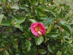 Camellia 'California Sunset'