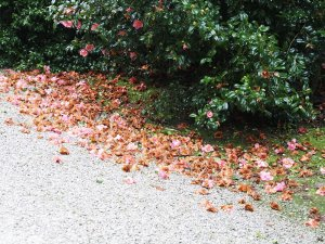 Camellia x williamsii 'Rosemary Williams'