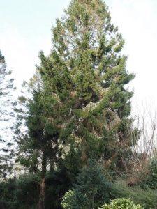 Picea amorika