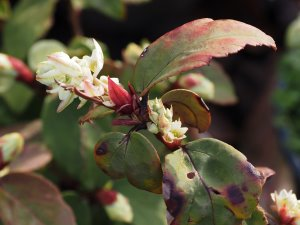 Ribes laurifolium 'Amy Doncaster'