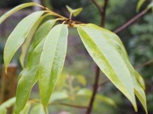 Magnolia floribunda 'Furry Wok'