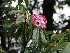 Rhododendron arboreum subsp. cinnamomium