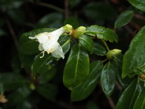 Rhododendron 'Bo-Peep'