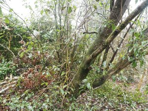 Acer fabri and Cinnamomum camphora