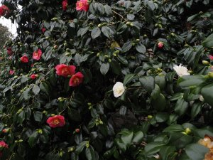 Camellia 'Lady Clare' and Camellia 'Noblissima'