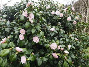 Camellia 'Moonlight Bay'