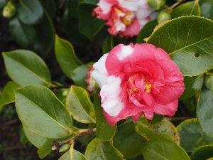 Camellia 'Nagasaki'