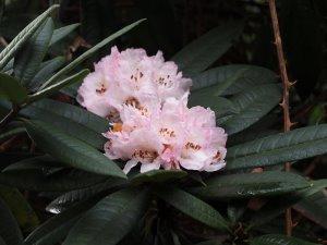 arboreum hybrid