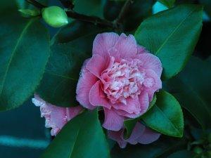 Camellia 'Holfordiana'