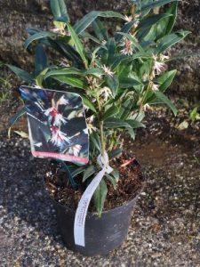 Sarcococca hookeriana 'Winter Gem'