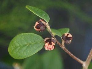 Sycopsis sinensis