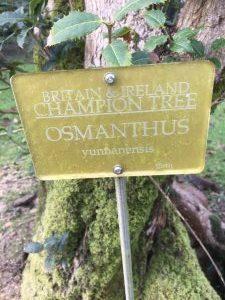 Osmanthus yunnanensis