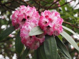 Rhododendron arboreum subsp. cinnamomeum