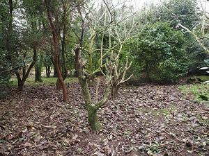 camellias hatstanded