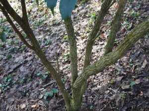 Mahonia (then) 'species nova'