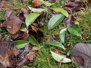 Camellia reticulatas