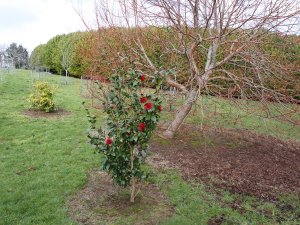 Camellia 'Takanini' and Tilia cordata 'Winter Orange'