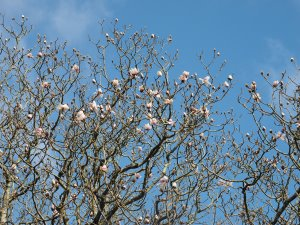 Magnolia campbellii