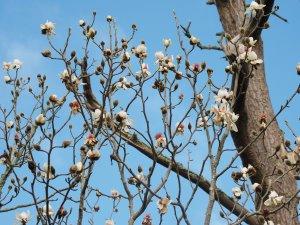 Magnolia campbellii alba 'Strybing White'