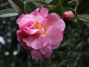 Camellia x williamsii 'Gay Time'