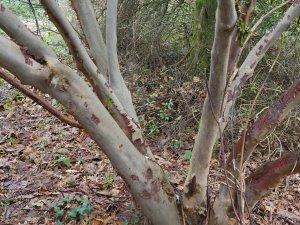 Rhododendron barbatum