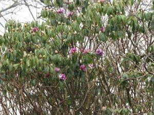 Rhododendron rirei