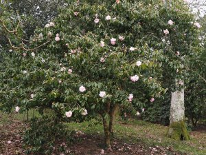 Camellia x williamsii 'Citation'