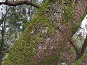 Cinnamomum japonicum mature bark
