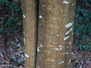 Cinnamomum glanduliferum