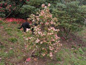 Rhododendron 'Bo Peep'