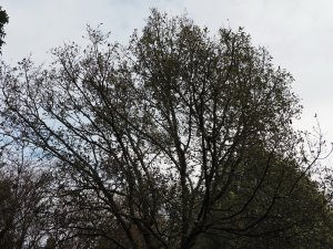 Quercus x hispanica 'Lucombeana'