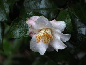 Camellia 'Cinnamon Scentsation'