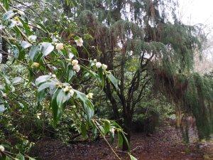 Camellia tsai and Fitzroya cupressoides