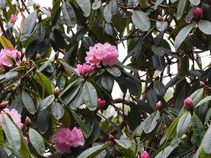 Rhododendron arboreum hybrid