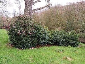 camellia windbreak