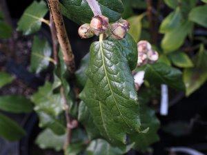 Camellia trachocarpa