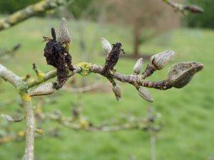 Magnolia 'Plum Pudding'