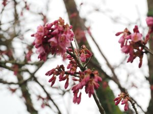 Prunus x incam 'Okame'