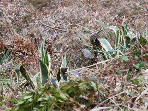 Agave americana and Fascicularia