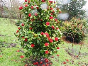 Camellia 'Dr Burnside'