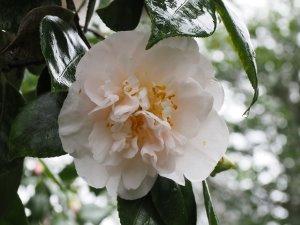 Camellia 'Mrs D W Davis'