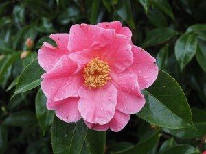 Camellia reticulata seedling