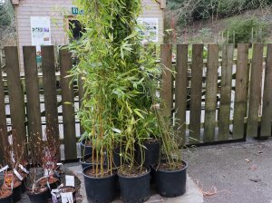 bamboo species