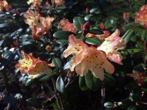 Rhododendron 'Golden Oriole Busaco'