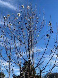 Magnolia campbellii 'Valentine's Torch'