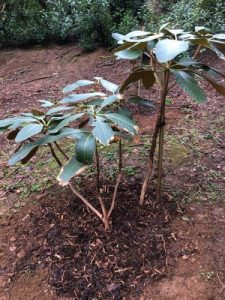 Rhododendron falconeri layers